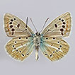 A new butterfly species from south Russia ...