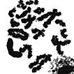 Karyotypes of three species of Hyperophora ...