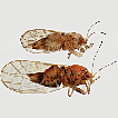 Description of two new species of the ...