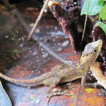 Detection of cryptic diversity in lizards ...