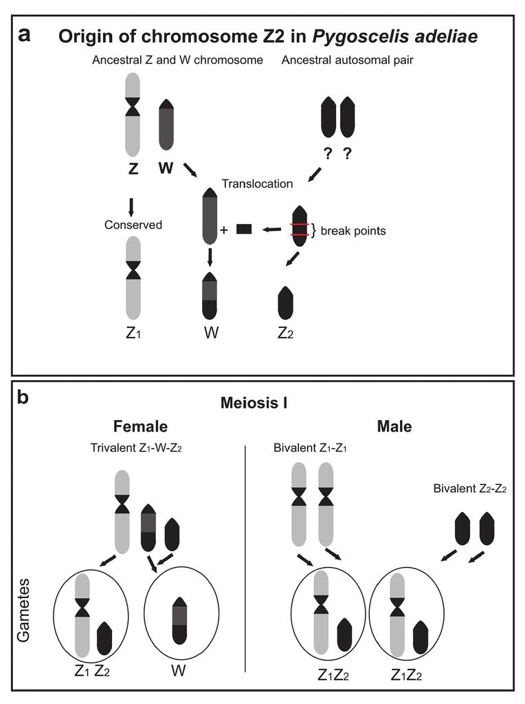 Multiple Sex Chromosome System In Penguins Pygoscelis Spheniscidae