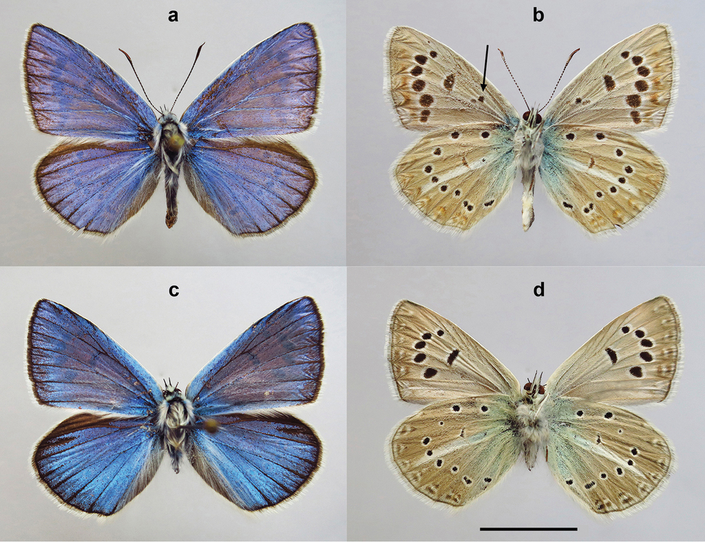 A new butterfly species from south Russia revealed through ...