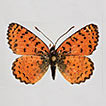 A new species of <i>Melitaea</i> from Israel, with notes on taxonomy, cytogenetics, phylogeography and interspecific hybridization in the <i>Melitaea persea</i> complex (Lepidoptera, Nymphalidae)