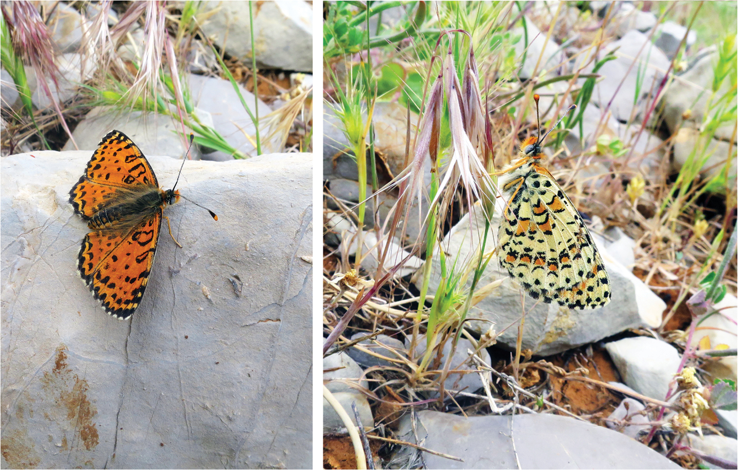 DNA barcode analysis reveals a new species of butterfly, the first in Israel in 109 years.